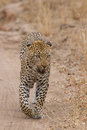 Beautiful large male leopard walking in nature hunting for food Stock Photography