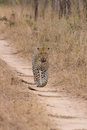 Beautiful large male leopard walking in nature hunting for food Royalty Free Stock Photography