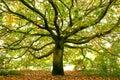 Beautiful Large oak tree, London, England
