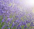 Beautiful lavender field with sun flare and shallow depth of fie differential focus technique Royalty Free Stock Photography
