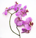 Beautiful leopard Phalaenopsis orchid flower on white background Royalty Free Stock Photo