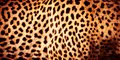 Beautiful leopard skin background Royalty Free Stock Photo