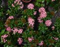 Beautiful Light Pink Colored Flame of Wood Flowers Royalty Free Stock Photo