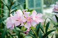 Beautiful light red flowers nerium oleander flower garden Stock Photos