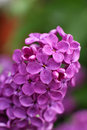 Beautiful lilac flowers Stock Photography