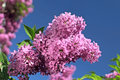 Beautiful lilac flowers over blue sky background Royalty Free Stock Photos