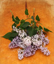 Beautiful lilac on a wooden Royalty Free Stock Images