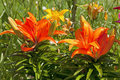 Beautiful lilies in the garden colourful a flowerbed summer Stock Image