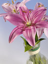 Beautiful lily Royalty Free Stock Photo