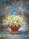 Beautiful lily of the valley in a basket on table Royalty Free Stock Image