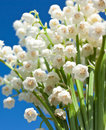 Beautiful lily-of-the-valley flowers Stock Photo