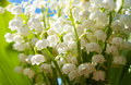 Beautiful lily-of-the-valley flowers Stock Photos