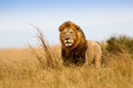 Beautiful Lion Caesar Royalty Free Stock Photo
