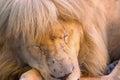 Beautiful lion captured while sleeping Royalty Free Stock Photo