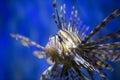 A Beautiful Lion Fish