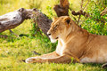 Beautiful lioness having rest laying on a grass Royalty Free Stock Photo