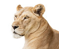 Beautiful lioness portrait isolated on white background with copy space Stock Images
