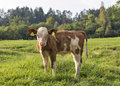 Beautiful little calf in Alps meadow Royalty Free Stock Photo