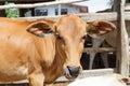 Beautiful little calf Royalty Free Stock Photo