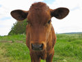 Beautiful little calf on the green sunny meadow Royalty Free Stock Photo