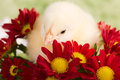 Beautiful little chicken flowers Stock Photo