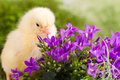 Beautiful little chicken flowers Royalty Free Stock Image