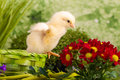 Beautiful little chicken flowers Royalty Free Stock Images