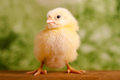 Beautiful little chicken green background Royalty Free Stock Photos