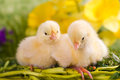 Beautiful little chicken green background Stock Photography