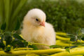 Beautiful little chickens chicken with flowers Stock Images