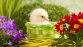 Beautiful little chickens chicken with flowers Stock Image
