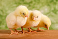 Beautiful little chickens green background Stock Photos