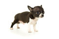 Beautiful little chihuahua insulated on white background pets allowed puppy Royalty Free Stock Image