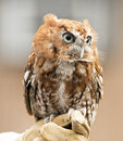 Beautiful little Screech Owl sits on a handler's glove. Royalty Free Stock Photo