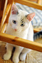 Beautiful little white cat sitting calmly inside a wooden framework in a house looking curiously up at the camera Royalty Free Stock Photo