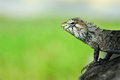 Beautiful lizard on the green background Royalty Free Stock Photos