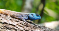 Beautiful lizard iguana on tree trunk Royalty Free Stock Photo