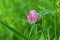 Beautiful lonely clover Royalty Free Stock Photo