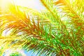 Beautiful long feathery palm tree branches in bright golden sunlight on blue sky background. Vibrant emerald green color. Tropical Royalty Free Stock Photo