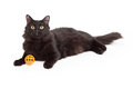 Beautiful Long Haired Black Cat Laying With Orange Toy Royalty Free Stock Photo