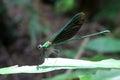 Beautiful long-tail purple dragonfly.