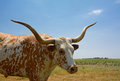 Beautiful longhorn standing in the open and posing is steer Royalty Free Stock Image