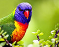 Beautiful Lorikeet with vibrant colours Royalty Free Stock Photos