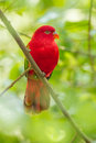 Beautiful lory bird lorius garrulus stair at us Stock Photo
