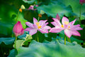 Beautiful lotus blooming in the pond in summer Royalty Free Stock Images