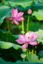 Beautiful lotus blooming in the pond in summer Stock Image
