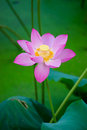 Beautiful lotus blooming in the pond in summer Stock Photo