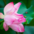 Beautiful lotus blooming in the pond in summer Royalty Free Stock Photos
