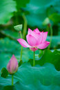 Beautiful lotus blooming in the pond in summer Stock Photography