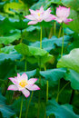 Beautiful lotus blooming in the pond in summer Royalty Free Stock Image